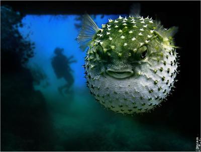 Angry fish Angry, fish