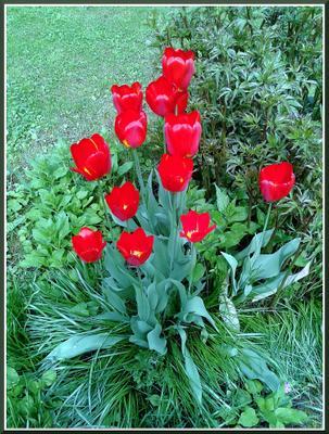 Уже отцвели... Весна тюльпаны