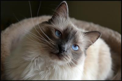 *** ragdoll, cat, blue eyes