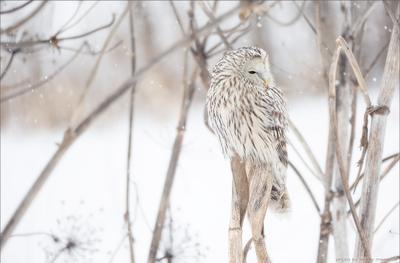 В зимнем безмолвии сова неясыть