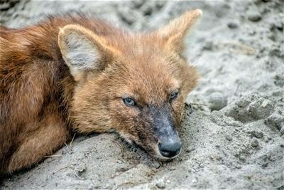 ***красный волк