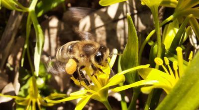 *** пчела цветы