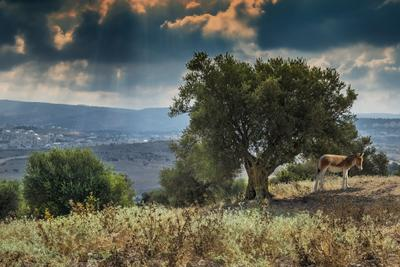 На холмах Иерусалима Иерусалим холмы оливковая роща ослик