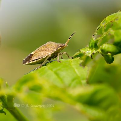 Клоп насекомые клоп макро