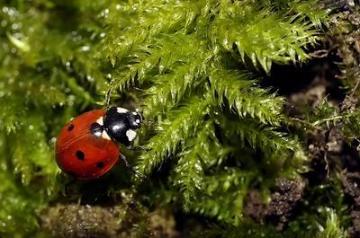 Елочная игрушка макро божья коровка капли насекомые