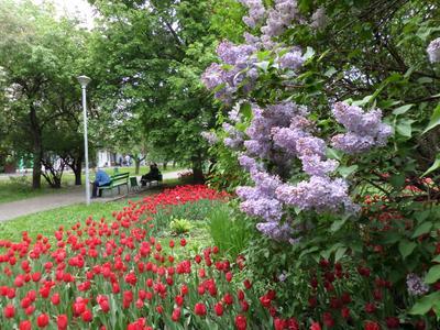Сквер в Царицыно весна цветы сирень