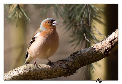 зяблик зяблик.птицы