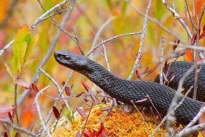Чёрная гадюка природа животный мир пресмыкающиеся