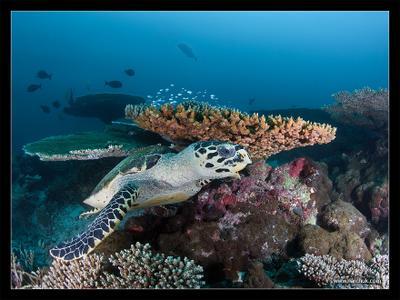 Reef life Coral,reef,life,turtle,blue,deep,dive,sea