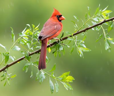 Northern Cardinal male - Красный кардинал самец