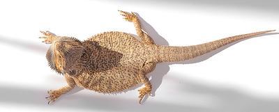 агама  агама ящерица