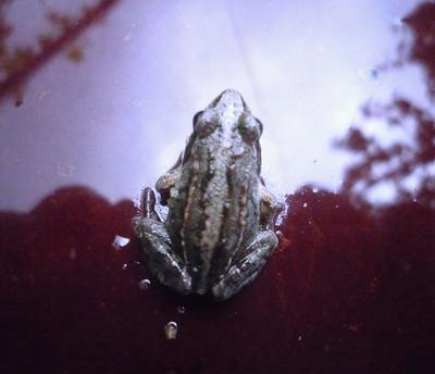 Лягушонок Жорик лягушка,лето,природа,фото сергей сиденко