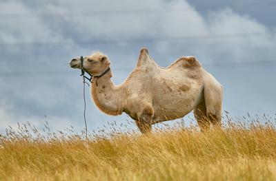 *** животные верблюд