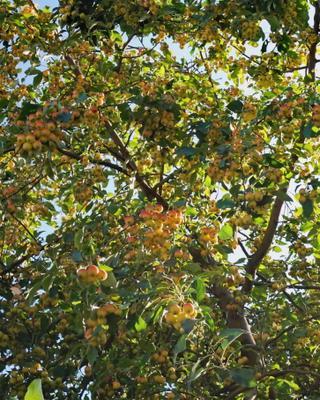 Яблочки природа осень сентябрь яблоки