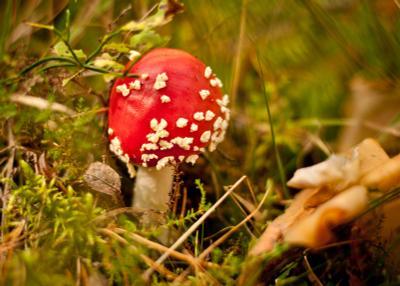 *** мухомор грибы лес осень природа красный яркий