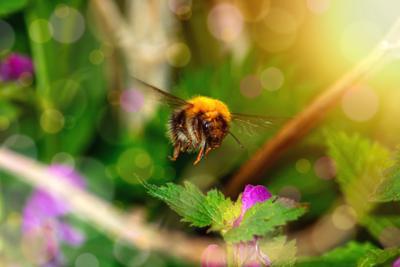 """""""Цветолет"""". шмельуцветка шмельсобираетпыльцу весна опыление шмельопяляетцвкток шмельсобираетнектар"""