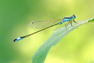 *** макро фото стрекоза насекомые вертолет прямокрылые лето солнце