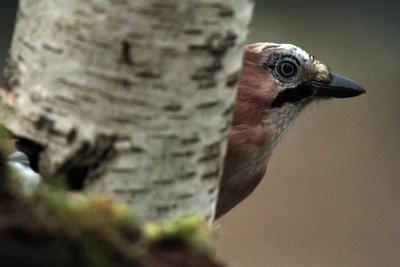 Поиграем в прятки ? природа птица сойка прятки фотоохота
