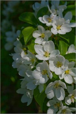 * Скоро  зацветут * весна яблони цвет