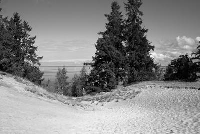 Пейзаж с елями пейзаж природа чб черно-белое псков россия ели деревья песок холм