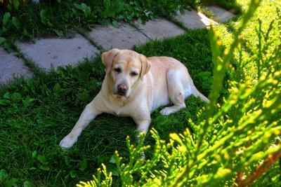 Холли собака лабрадор лето отдых доброта взгляд