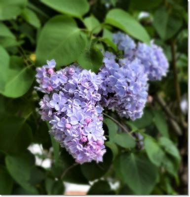 Сирень.... Сирень.... сирень весна ай красота природа прогулка настроение