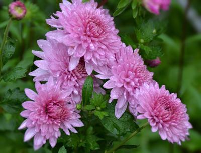 В капельках дождя капли дождя цветы осени хризантемы
