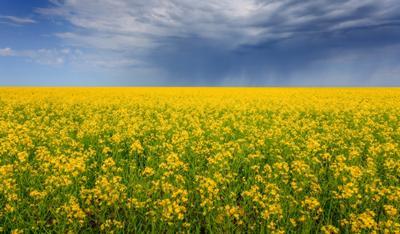 Цветение гречихи Северный Казахстан