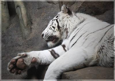 Спокойствие и уверенность! Тигр, зоопарк, киса