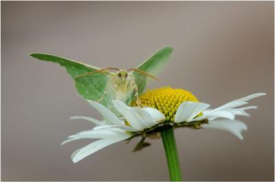 Пяденица зеленая макро бабочка