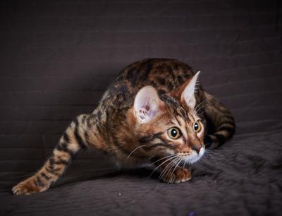 *** кот кошка котенок бенгальский тигр