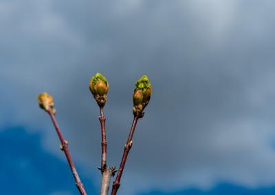 Пробуждение почки листья дерево ветка