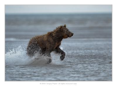 **** медведи, фотоохота, дикая природа, Аляска