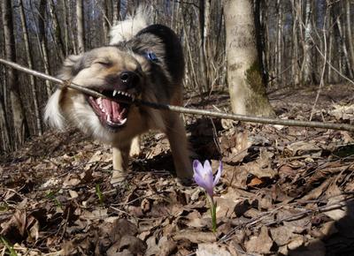 в весеннем лесу собака лес крокус март