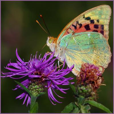 Перламутровка большая лесная (Argynnis paphia L.)