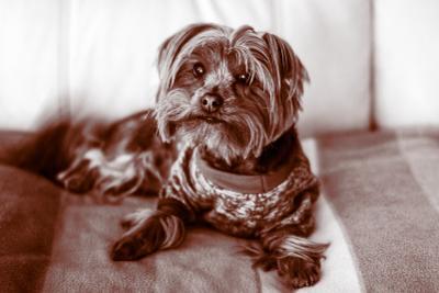 Chapa_2021 Yorkshire Gedera Pets dog