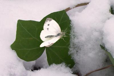 Зимняя бабочка