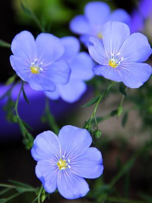 Ленок лето цветок