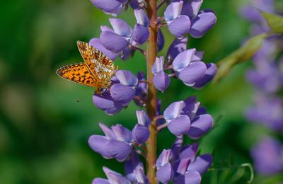 Люпин и бабочка люпин бабочка