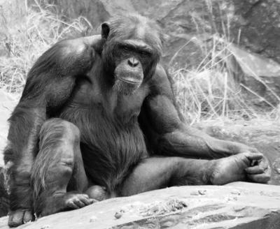 старость-не-радость шимпанзе