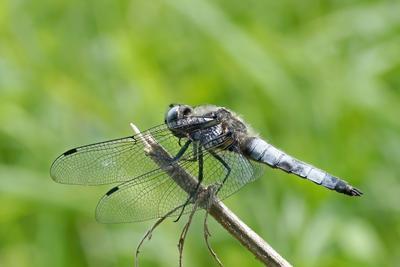 Стрекоза плоская (Libellula depressa)