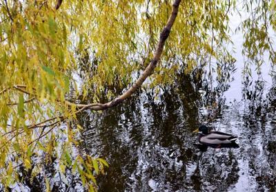 *** утка, озеро, вода, ветка, дерево, листва