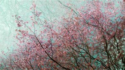 Шелк отражение, розовый, шелк, ветки, цветы, цветение