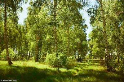 Среди берёз пейзаж весна май лес берёзы