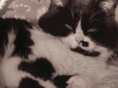 Котяра кошка мордашка черно-белое