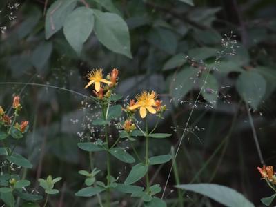 Прошли дожди - Пусть будут летние цветы - Середина июля Зверобой продырявленный sony dsc-hx200 moscow suburb close-up flower