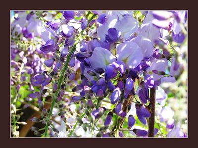голубая акация весна голубая акация в цвету