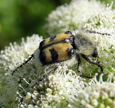 Восковик перевязанный макро насекомые