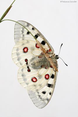 Ангел неба wildlife, макро, бабочка, аполлон обыкновенный, parnassius_apollo, apollo