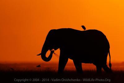 Пассажир слон амбосели онищенко фото сафари кения